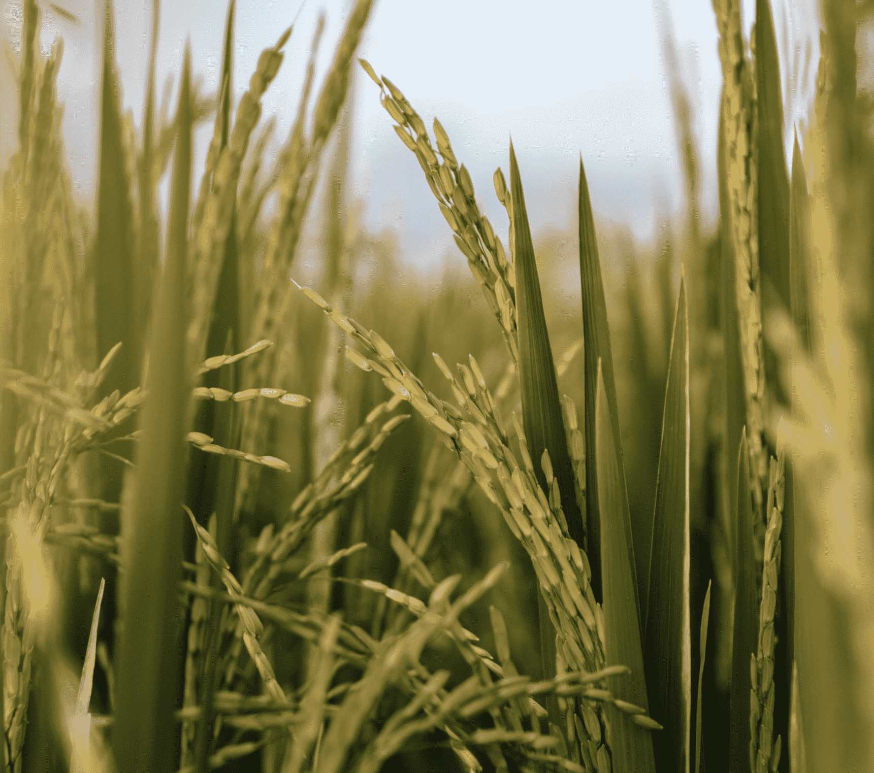 Identification of Rice Leaf Diseases using Deep Convolutional Neural Networks